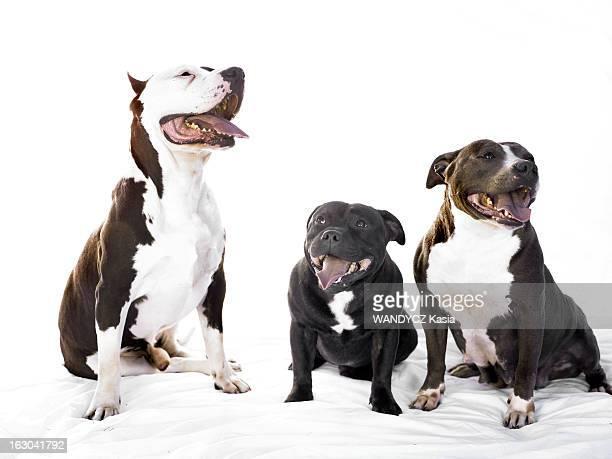 Beware Of The Dog Les chiens molosses devenus les nouveaux ennemis numéro un photo studio avec de gauche à droite Ouranos un mâle american...