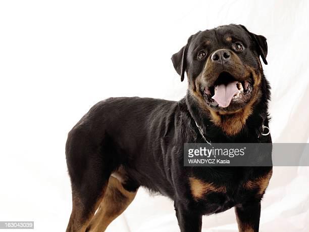 Beware Of The Dog Les chiens molosses devenus les nouveaux ennemis numéro un photo studio de Tempête un rottweiller mâle de 4 ans