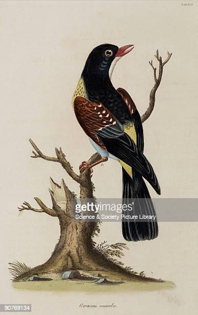 Illustration by John Frederick Miller from his �Cimelia physica Figures of rare and curious quadrupeds birds c Together with several of the most...
