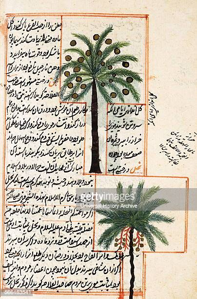 Illustration depicting Coconut and palm trees from 1538 edition of 'KitabI ajayib almakhluqat va ghara'ib almawjudat' a 12th century Islamic Persian...