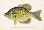 Illustration depicts a Calico or strawberry bass fish mid to late 1900s