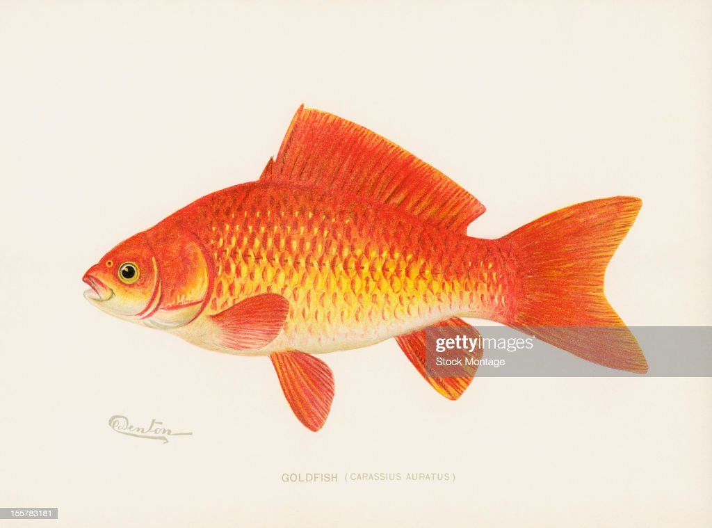 Illustration depicts a Goldfish late 19th or early 20th century