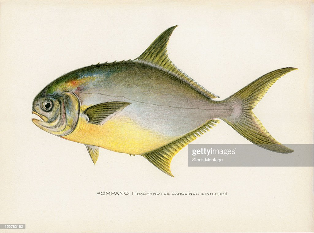 Illustration depicts a Pompano late 19th or early 20th century