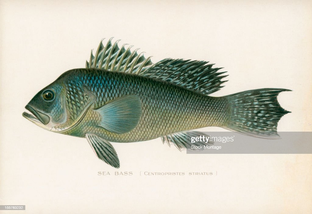 Illustration depicts a Sea bass late 19th or early 20th century