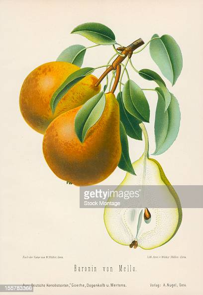 Illustration depicts Baronin von Mello pears both on the branch an in cross section 1894