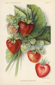 Illustration depicts Chesapeake strawberries both on the vine and in cross section 1912 The illustration a chromolithograph is from an unspecified US...