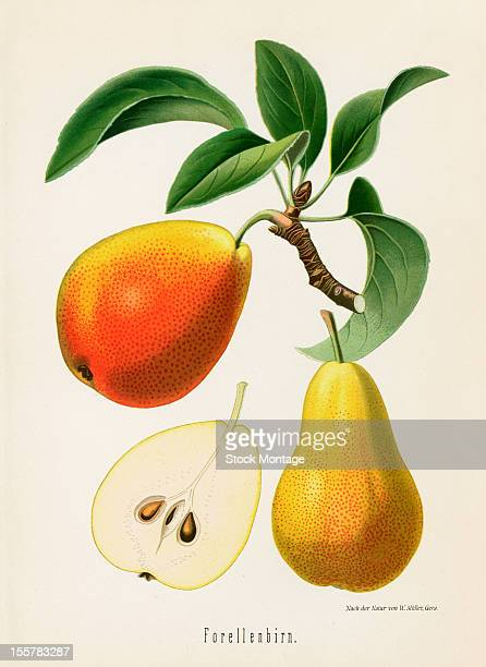 Illustration depicts Forellenbirn pears both on the branch an in cross section 1894