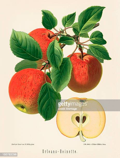 Illustration depicts OrleansReinette apples both on the branch an in cross section 1894