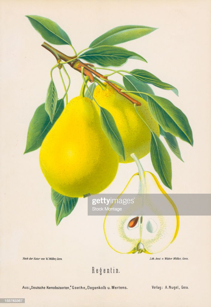 Illustration depicts Regentin pears both on the branch an in cross section 1894