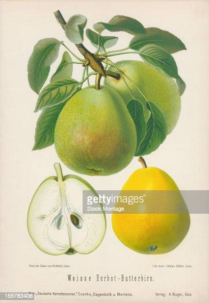 Illustration depicts Weisse HerbstButterbirn pears both on the branch an in cross section 1894