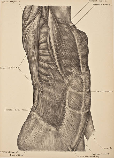 External Oblique Muscle Pictures   Getty Images