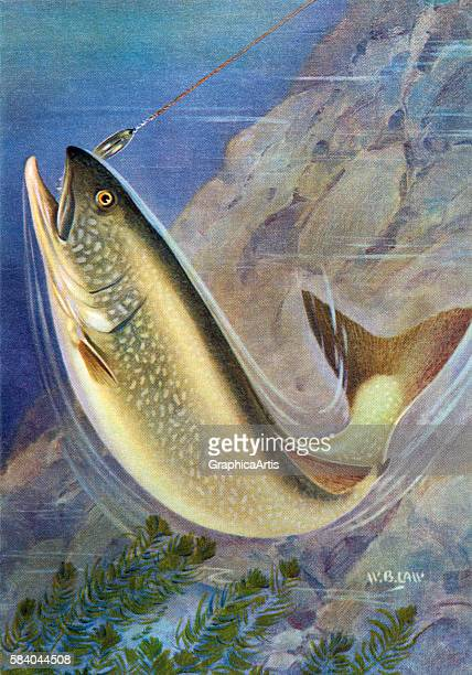 Illustration of a lake trout on the line of a fisherman 1950 Lithograph