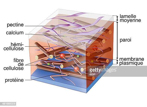 Illustration of a plant cell's primary cell wall consisting of cellulose hemicellulose proteins pectins and calcium