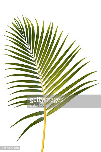 Illustration of a tropical palm leaf on a white background