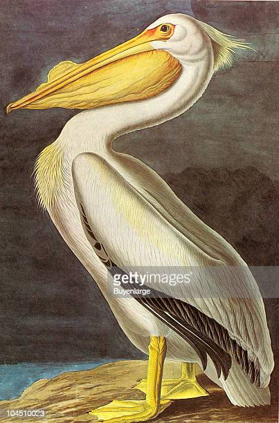 Illustration of a White Pelican 19th century The image was originally painted by the illustrator John James Audubon and first published in his book...