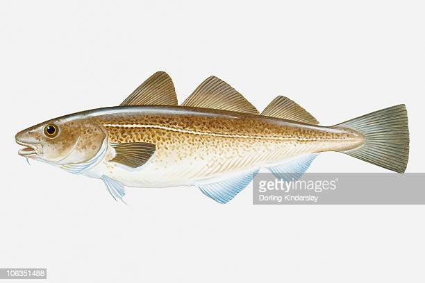 Illustration of Atlantic Cod (Gadus morhua) fish