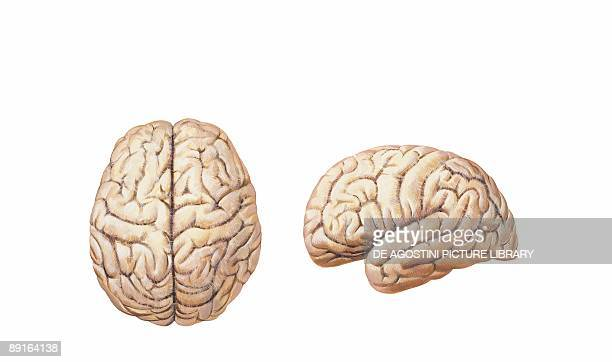 Illustration of cerebral hemisphere upper lateral surface of brain