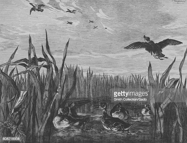 Illustration of ducks flying through wetlands in Sarcelles Paris France 1867 From the New York Public Library