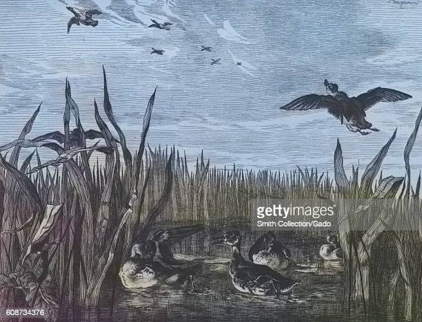 Illustration of ducks flying through wetlands in Sarcelles Paris France 1867 From the New York Public Library Note Image has been digitally colorized...