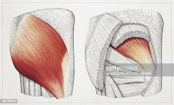 Illustration of gluteal muscles