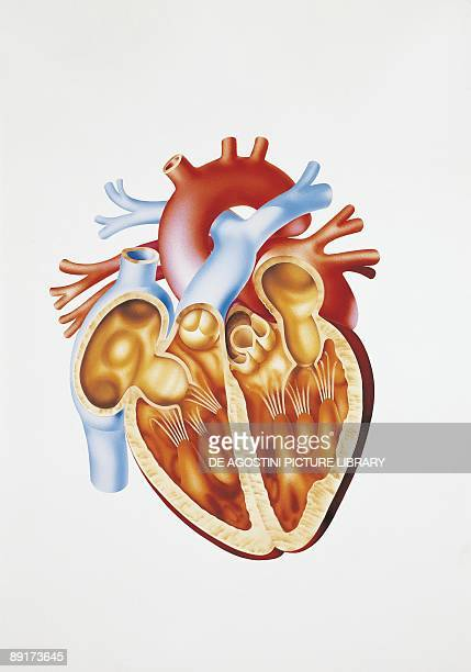 Illustration of human circulatory system heart section