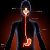 The stomach is a muscular, hollow organ in the gastrointestinal tract of humans and many other animals, including several invertebrates. The stomach has a dilated structure and functions as a vital di