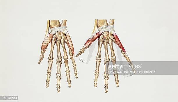 Hand Anatomy Tendons Stock Photos And Pictures Getty Images