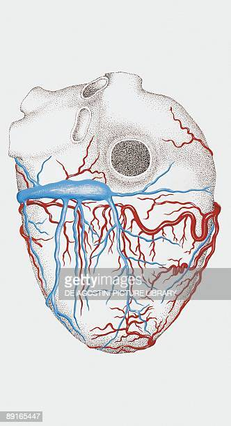Illustration of human heart arteries and veins back view