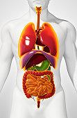 Human Internal Organic, 3D illustration medical concept.