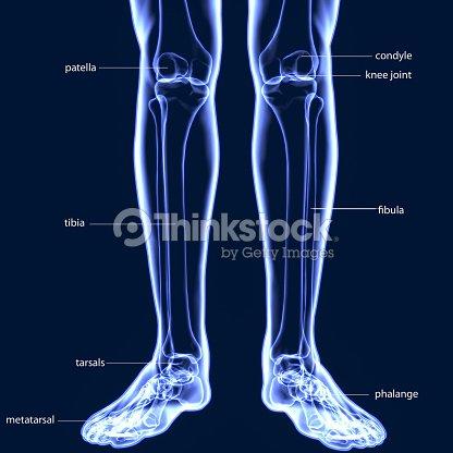 3d Abbildung Des Menschlichen Skeletts Tibia Und Fibula Knochen ...