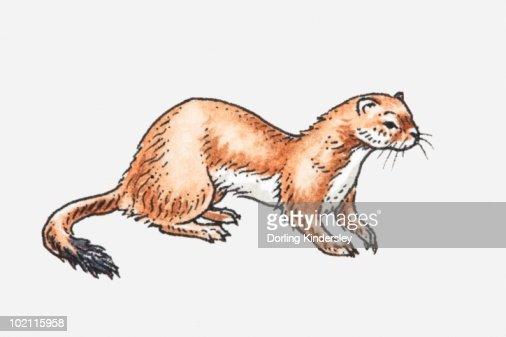 Illustration of Least Weasel (Mustela nivalis)
