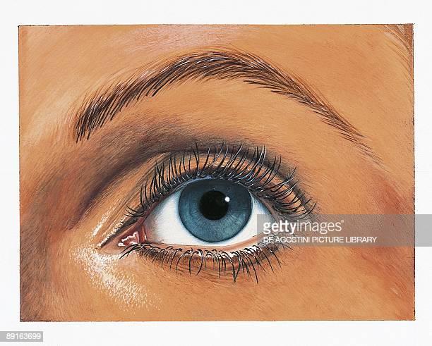 Illustration of left eye