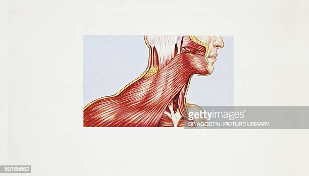 Illustration of muscular system muscles of neck platysma