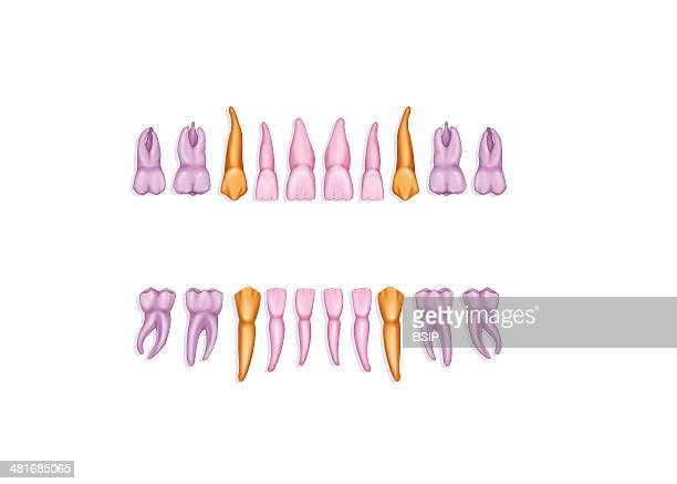 Illustration of primary dentition 8 incisors 4 canines 8 molars