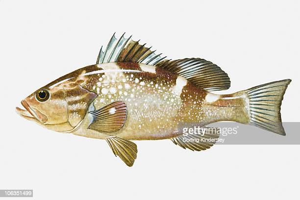 Illustration of Red Grouper (Epinephelus morio) fish