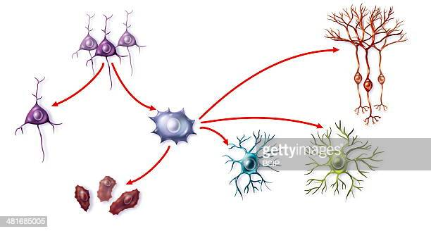 Illustration of stem cell differentiation into neuronal precursor cells some of which die others become neurons or glial cells astrocytes or...