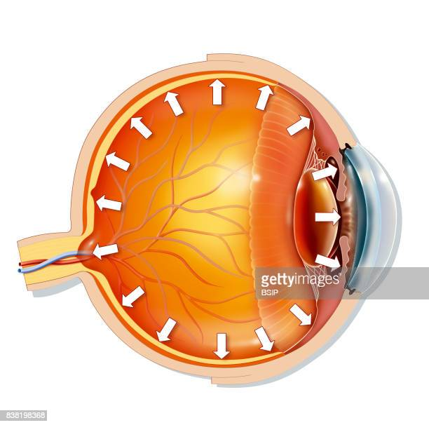 Illustration of the anatomy of the eye showing the trabecular meshwork located at the base of the cornea This natural filter allows the aqueous...