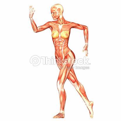 Illustration Of The Anatomy Of The Female Body Stock Photo Thinkstock