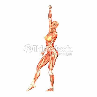 Ilustración De La Anatomía Humana De Que El Cuerpo Femenino Foto de ...