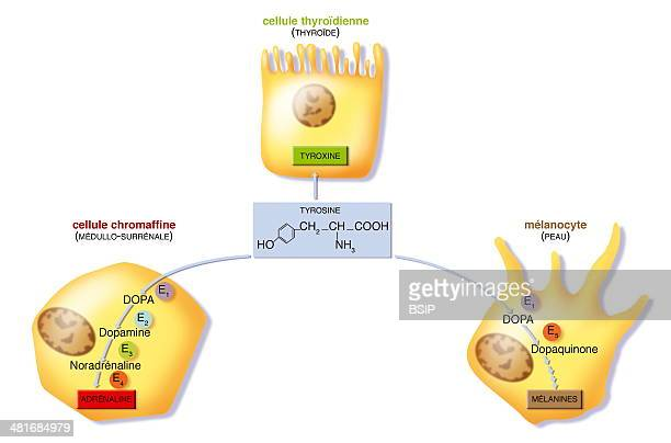 Illustration of the various stages of tyrosine metabolism which thanks to enzymes E1 E2 E3 and E4 enables the production of complex DOPA molecules...