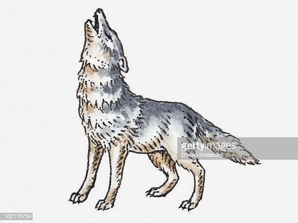 Illustration of wolf howling.