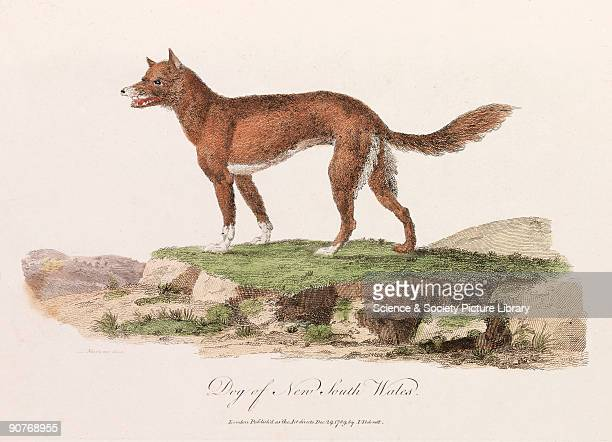 Illustration probably of a dingo from �Journal of a voyage to New South Wales� a work on the natural history of Australia by John White published in...