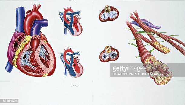 Illustration showing parts of human circulatory system