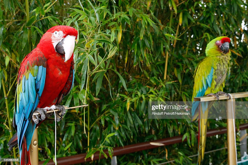 Illustration view of parrots Arthur (Red) and Zoe (Green) during Day Nine of the 2016 French Tennis Open at Roland Garros on May 30, 2016 in Paris, France.