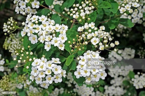 Im Frühling entfaltet der Spierstrauch Spiraea x vanhouttei eine Vielzahl weisser Blütendolden