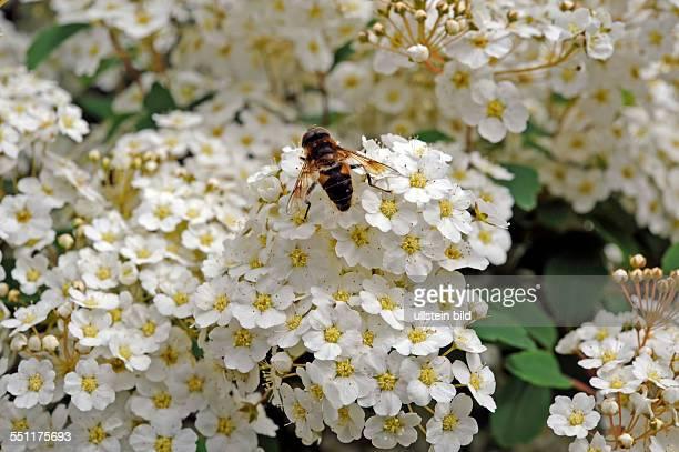 Im Fruehling entfaltet der Spierstrauch Spiraea x vanhouttei ein attraktives Ziergehoelz eine Vielzahl weisser Bluetendolden und lockt Insekten an