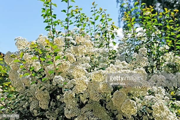 Im Fruehling entfaltet der Spierstrauch Spiraea x vanhouttei ein attraktives Ziergehoelz eine Vielzahl weisser Bluetendolden
