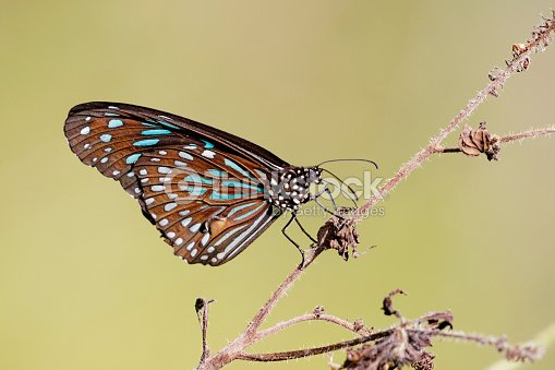 Image of a butterfly (The Pale Blue Tiger) on nature background. Insect Animal