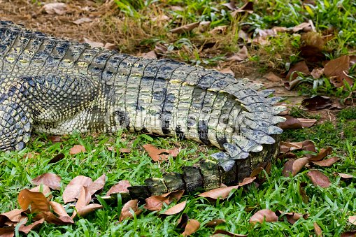 Image of a crocodile tail on the grass. Reptile Animals.