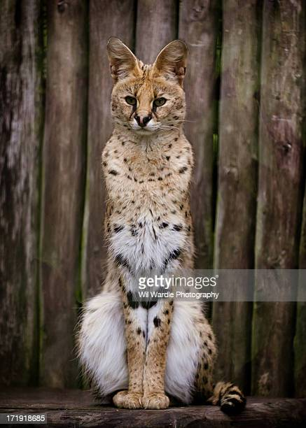 Image of a Serval